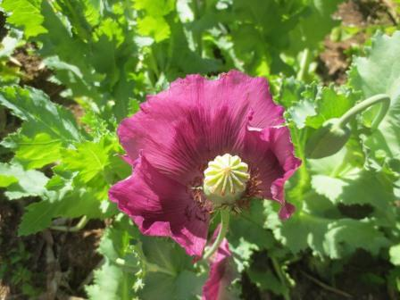 Blooming poppy plant in northern Thailand