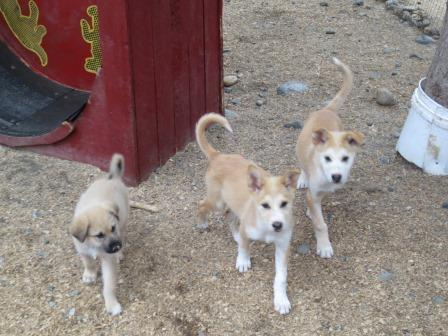 Alaskan Husky puppies