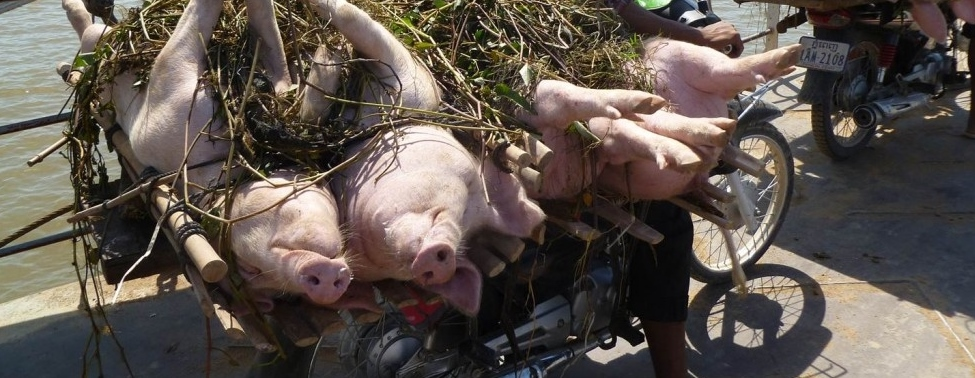 Photo Essay:  Pigs in Cambodia Going to Market