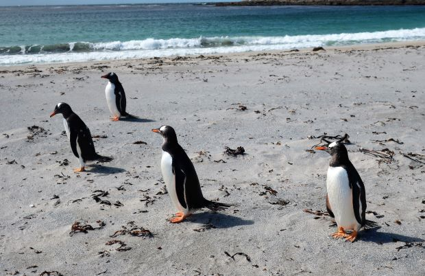 Falklands penguins